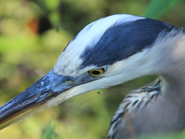 Great Blue Heron 20120131