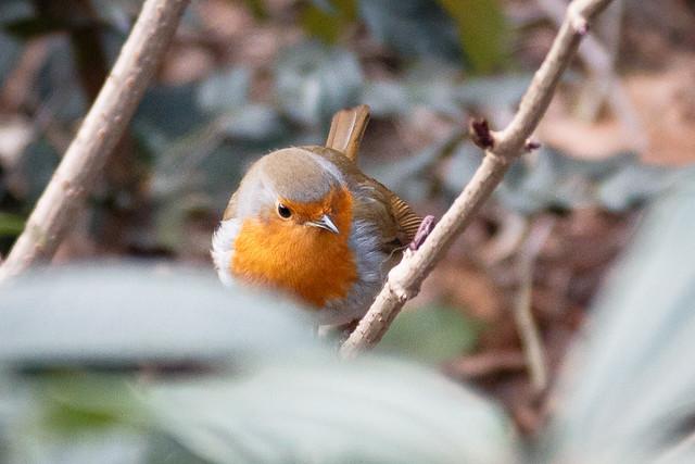 Robin in Wapping Rose Gardens