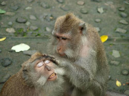 бали, обезьяны13