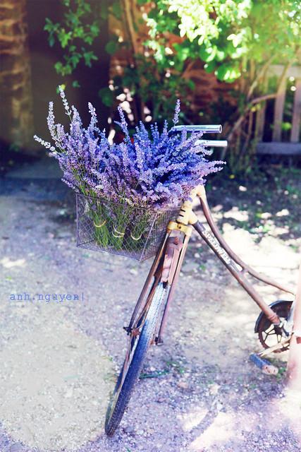 Lavender Bike