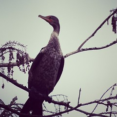 Another Austin bird. This one's a cormorant.