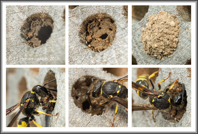 Ancistrocerus wasp nest building