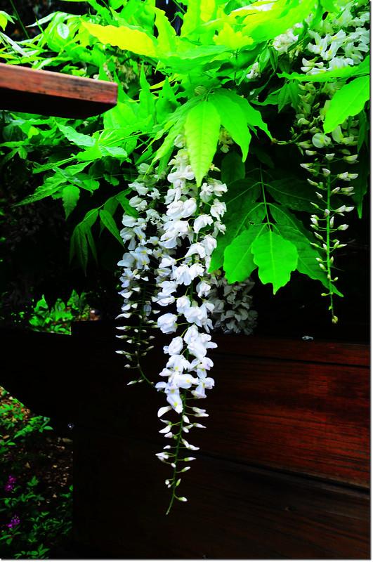 白色紫藤花 1