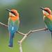 Chestnut-headed Bee-eater by mallardg500
