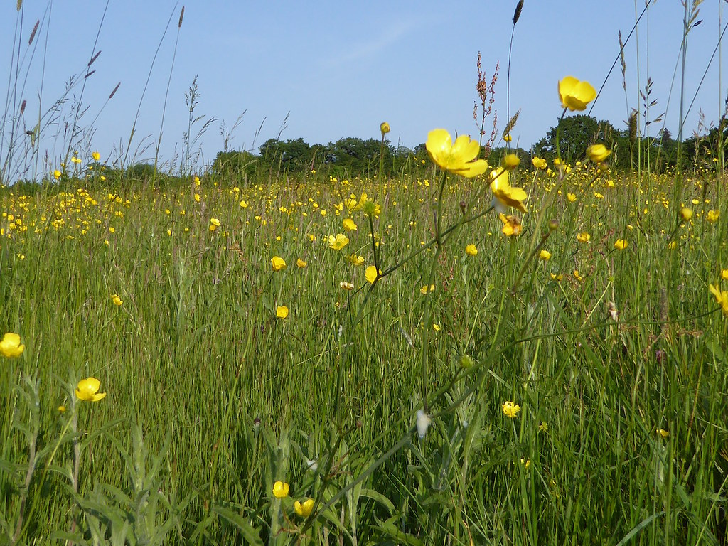 Buttercup meadow Totteridge Circular walk