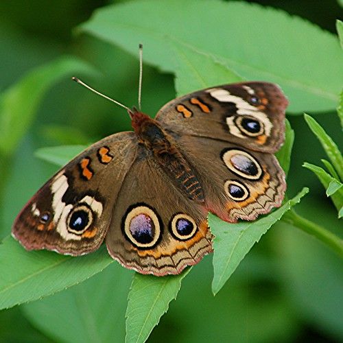 Common Buckeye is anything but common! by jungle mama