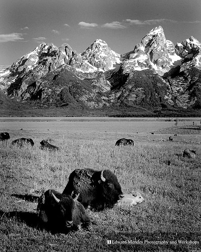 Bison and Teton by Edward Mendes