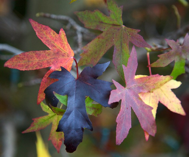 Liquidambar leaves in autumn flickr photo sharing for Garden design under gum trees