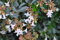 Glossy Abelia Blossoms in December