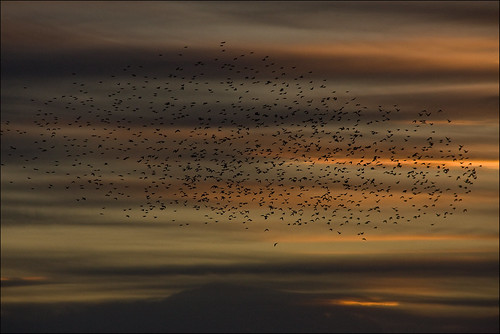 Mumuration of Starlings - Brighton