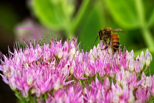 ohio lucascounty toledo parks localparks toledobotanicalgarden animals smallanimals bees flowers sedum september2011 september 2011 canon10028lmacro