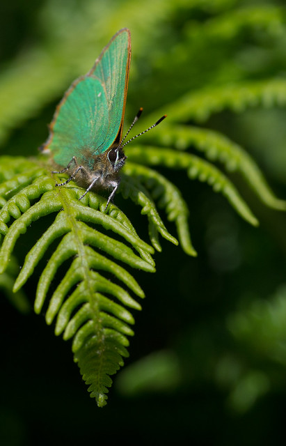 green hairstreak on bracken 7
