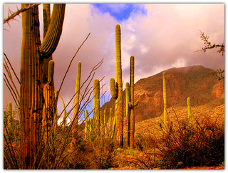 Saguaros and Ocotillos