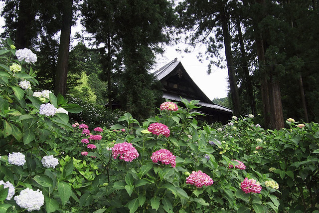 110626_121723_EP2_Masuho-cho_Hydrangea festival