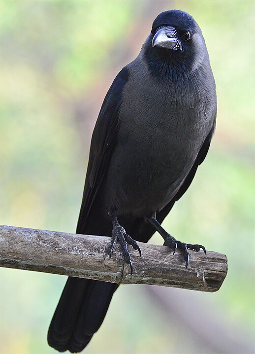 Mystery bird: House crow, Corvus splendens | GrrlScientist