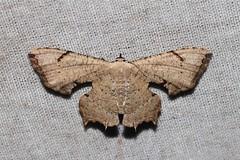 Dysaethria quadricaudata  (Uraniidae: Epipleminae)