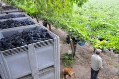 La cosecha en Mendoza caerá un 5% y preocupa la falta de agua