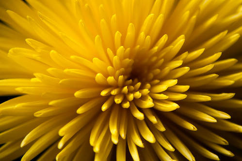 933/1000 - Chrysanthemum by Mark Carline