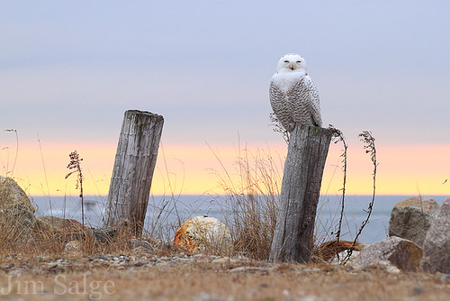 Snowy Owl in New Hampshire