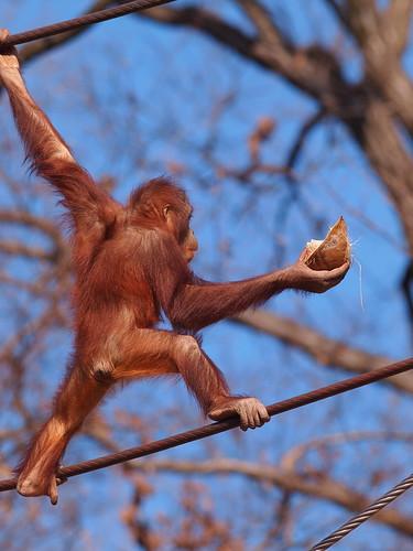 多摩動物公園 オラウータン
