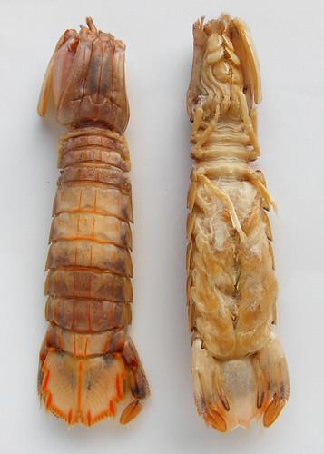 Mantis shrimp of pissing shrimp