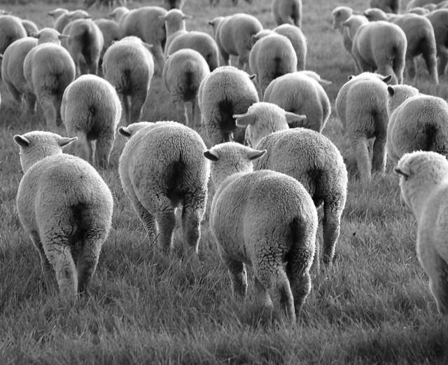 6648844287_afdd3db810_z 25 magnifiques photos de moutons