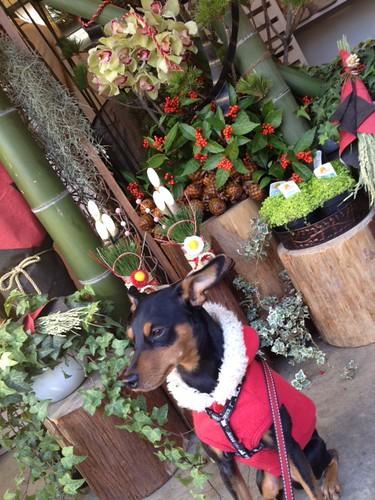 正月飾りの前の黒犬その3、飽きています。@ステラ