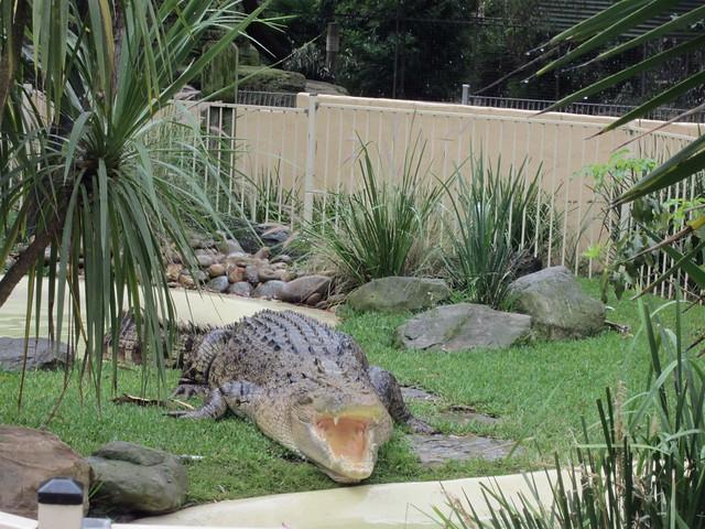 Featherdale - croc