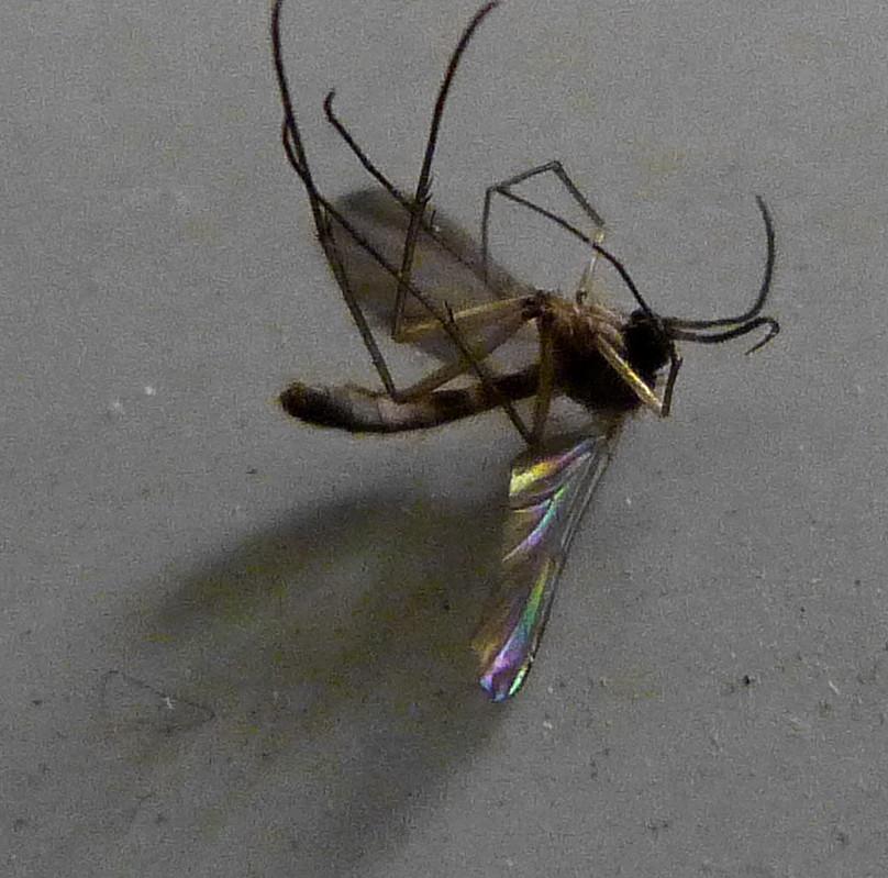 07-01-2012-rainbow-mosquito