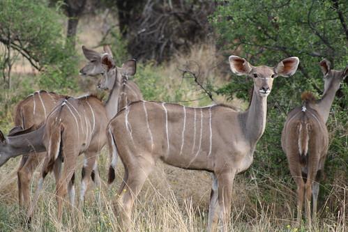 Impalas - Okonjima