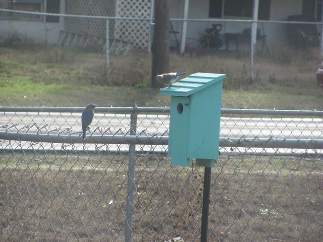 Male bluebird next to box