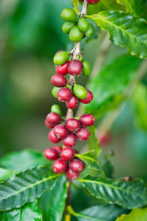 咖啡樹 - 梅林親水岸 - Coffea Tree - May-Lin Gin-Shui-An - Shinshou - Taichung City