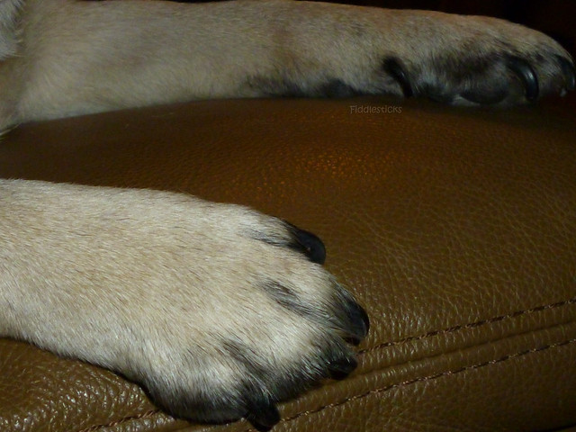 pug paws pug paws flickr photo sharing 4745