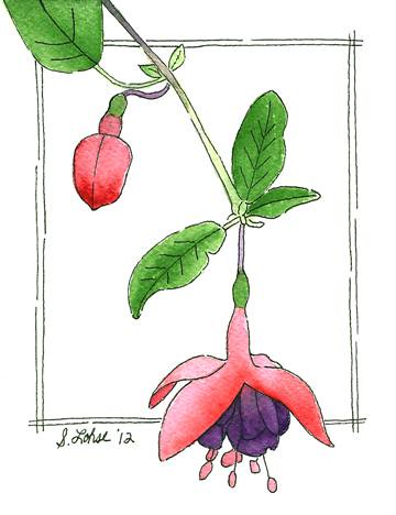Fuchsia, ink and watercolor