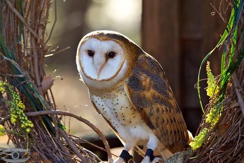 Carolina Raptor Center Barn Owl 641