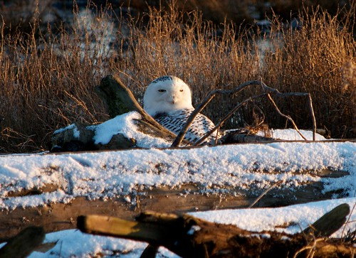 Snowy Owls at Boundary Bay