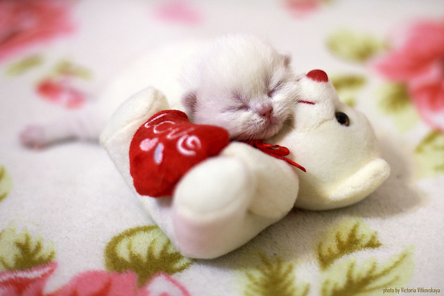 Little cat sleeping wit toy