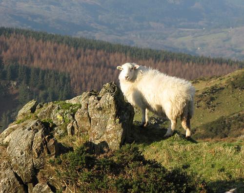 Welsh ewe