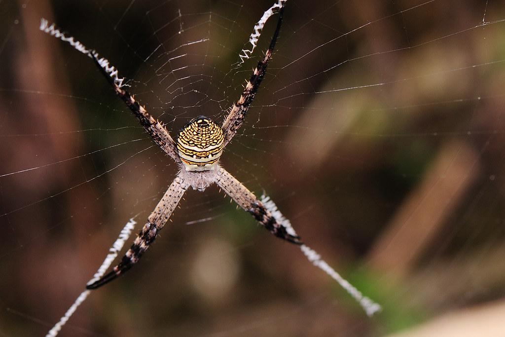 長圓金蛛 Argiope aemula