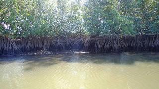 Manglares, Bahia de Jiquilisco.