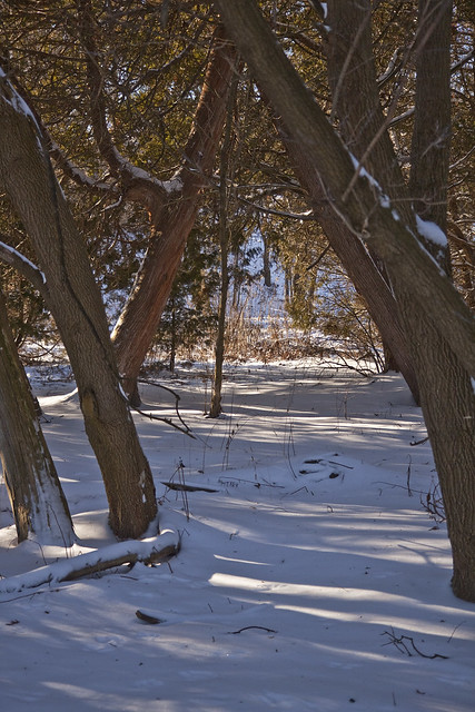 sunlit snowy cedars