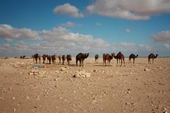 Herd of Camels