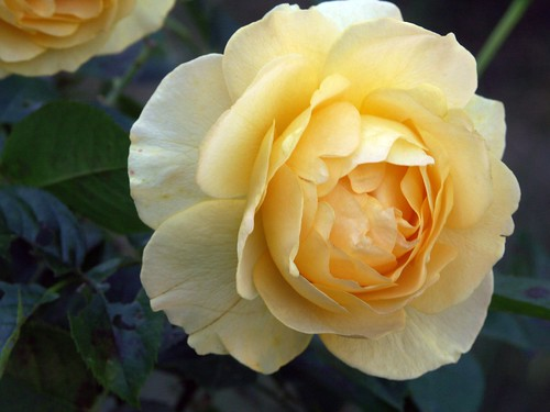 Floribunda yellow rose 'Julia Child'