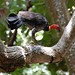 Small photo of Australian Brush-turkey (Alectura lathami)