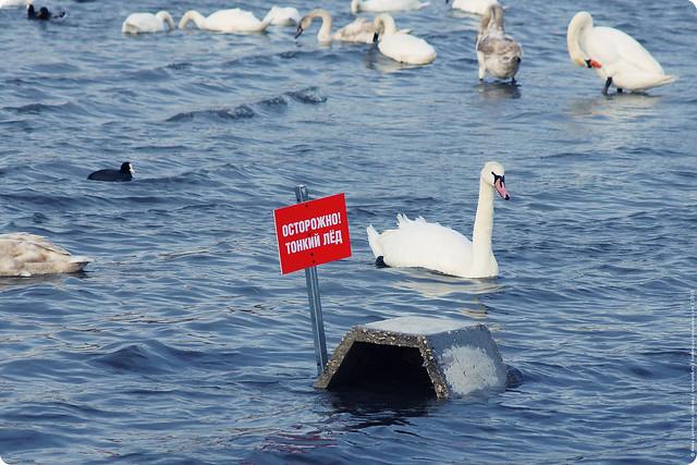 swans-15