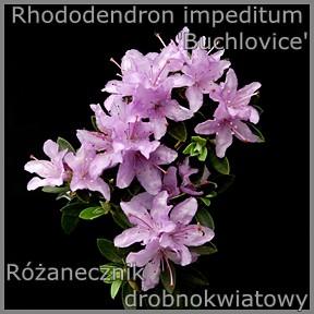 Rhododendron impeditum 'Buchlovice' - Różanecznik drobnokwiatowy