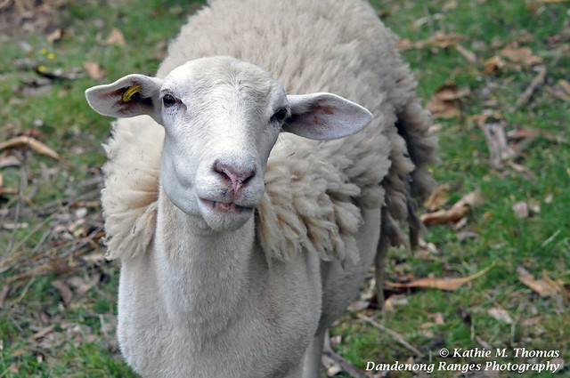 Molly, our sheep: What's that thing you're pointing at me?