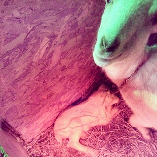 Another Mama and baby born today #goats #babygoats #newhampshire #farm #love #toocute I want one!