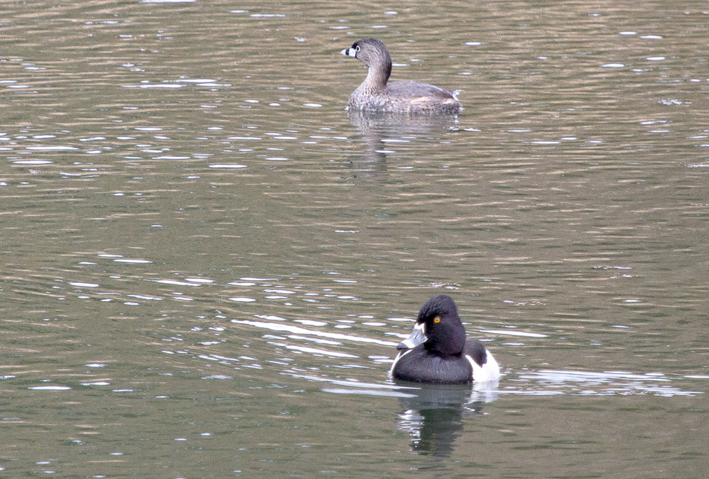 Grebe and duck
