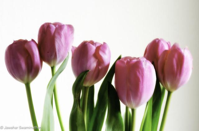 Tulips..